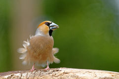 Hawfinch with blown feathers. Poland in June.Adult Hawfinch sitting on the branch and the wind is blowing feathers for him Royalty Free Stock Photography