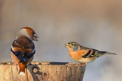 Hawfinch and brambling sitting on a tree stump on a beautiful background Stock Photo