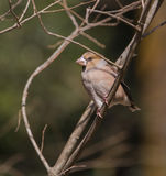 Hawfinch on branch Stock Image