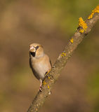 Hawfinch on branch Royalty Free Stock Photography