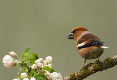 Hawfinch on a branch (Coccothraustes coccothraustes). Poland.Spring in May.Hawfinch sits on a branch of apple blossoms among.Horizontal view Stock Photo