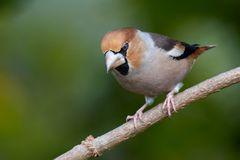 Hawfinch / Kernbeisser Coccothraustes coccothraustes. A Hawfinch on a branch Stock Photos