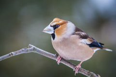 Hawfinch Stock Photos