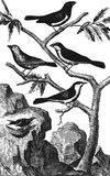 Hawfinch. Bunting. Swallow. Tit. Bullfinch Stock Photography