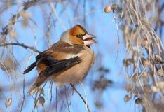 Hawfinch che mangia i semi Immagine Stock Libera da Diritti