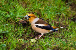 Hawfinch (close-up) Stock Photos