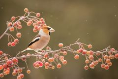 Hawfinch Coccothraustes coccothraustes stock afbeelding
