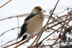 Hawfinch/Coccothraustes coccothraustes Stock Foto's