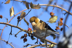 Hawfinch (Coccothraustes coccothraustes) Royalty-vrije Stock Fotografie