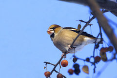 Hawfinch/Coccothraustes coccothraustes Royalty-vrije Stock Foto's