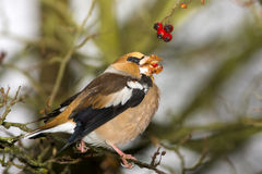 Hawfinch / Coccothraustes coccothraustes Royalty Free Stock Photography