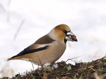 Hawfinch, Coccothraustes coccothraustes Royalty Free Stock Photos