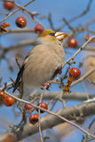 Hawfinch (Coccothraustes coccothraustes). On a branch with wild aples Stock Photos
