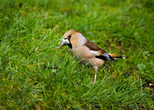 Hawfinch (coccothraustes coccothraustes) Stock Image