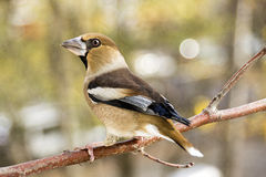 Hawfinch (Coccothraustes Coccothraustes) Stockbilder