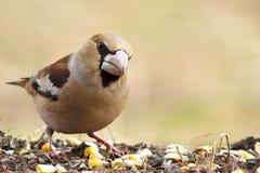 Hawfinch (Coccothraustes coccothraustes) στοκ εικόνες με δικαίωμα ελεύθερης χρήσης