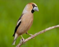 Hawfinch (Coccothraustes Coccothraustes) Lizenzfreie Stockbilder