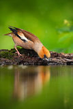 Hawfinch, Coccothraustes coccothraustes, beautiful songbird, brown songbird sitting in the water, nice lichen tree branch, bird in. The nature habitat Stock Image