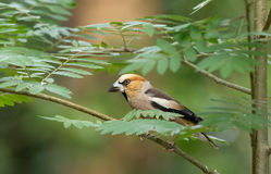 Hawfinch (Coccothraustes coccothraustes) Royalty Free Stock Photo