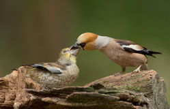 Hawfinch (Coccothraustes coccothraustes) Stock Photos