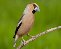 Hawfinch (Coccothraustes coccothraustes) Royalty Free Stock Images