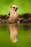 Hawfinch, Coccothraustes Coccothraustes, brauner Singvogel, der im Wasser, netter Flechtenbaumast sitzt, Vogel im Naturlebensraum Stockbild