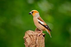 Hawfinch, Coccothraustes coccothraustes, brown songbird sitting on tree trunk nice lichen tree branch, bird in the nature habitat,. Germany Royalty Free Stock Photo