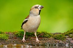 Hawfinch, Coccothraustes coccothraustes, brown songbird sitting in the water, nice lichen tree branch, bird in the nature habitat,. Germany Royalty Free Stock Photo