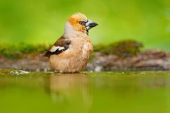 Hawfinch, Coccothraustes coccothraustes, brown songbird sitting in the water, nice lichen tree branch, bird in the nature habitat,. Slovakia Stock Photography