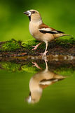 Hawfinch, Coccothraustes coccothraustes, brown songbird sitting in the water, nice lichen tree branch, bird in the nature habitat,. Germany Royalty Free Stock Images