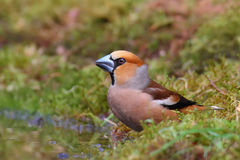 Hawfinch. Coccothraustes coccothraustes. Royalty Free Stock Photography
