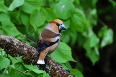 Hawfinch. Coccothraustes coccothraustes. Royalty Free Stock Photo