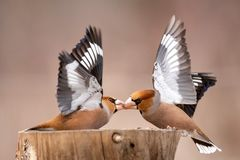 Hawfinch Coccothraustes Coccothraustes Fight At The Feeder Royalty Free Stock Photos