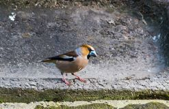 Hawfinch Coccothraustes Coccothraustes on the ground royalty free stock images