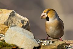 Hawfinch bird Stock Images
