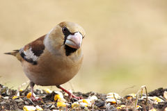 Hawfinch (Coccothraustes coccothraustes). Royalty Free Stock Images