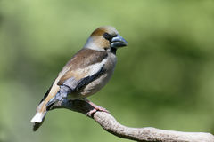 Hawfinch, Coccothraustes coccothraustes Stock Photography