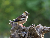 Hawfinch, Coccothraustes coccothraustes Stock Images