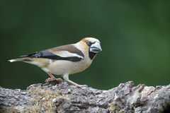 Hawfinch, Coccothraustes coccothraustes Stock Image