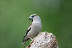 Hawfinch, Coccothraustes coccothraustes Stock Photo