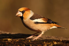 Hawfinch. The hawfinch Coccothraustes coccothraustes sitting on the branch with brown background Royalty Free Stock Photos
