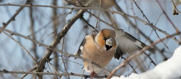 The hawfinch sitting on the branch in natural habitat stock image