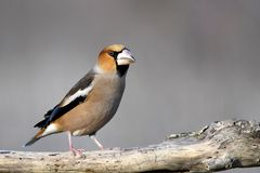 Hawfinch, Coccothraustes coccothraustes, sitting on a stick stock image