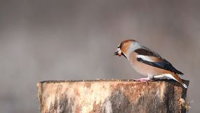 Hawfinch Coccothraustes coccothraustes sitting on the winter bird feeder stock video