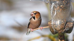 Hawfinch Coccothraustes coccothraustes sitting on the winter bird feeder stock footage