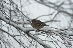 Hawfinch, Coccothraustes coccothraustes sitting in a tree royalty free stock photography