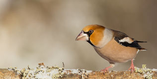 Hawfinch - Coccothraustes coccothraustes Stock Images