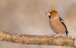 Hawfinch - Coccothraustes coccothraustes Stock Photo