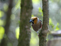 Hawfinch (coccothraustes de Coccothraustes) Image stock
