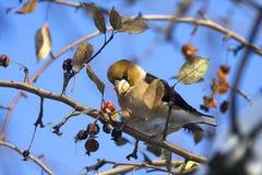 Hawfinch (coccothraustes del Coccothraustes) fotografía de archivo libre de regalías